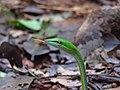 IMG 0109 vine snake.jpg