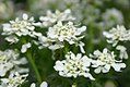 Iberis sempervirens White Lace 0zz.jpg