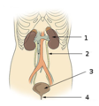 Illu urinary system numbers.png