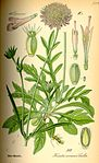 Illustration Knautia arvensis0.jpg