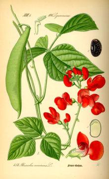 Phaseolus coccineus - Wikipedia
