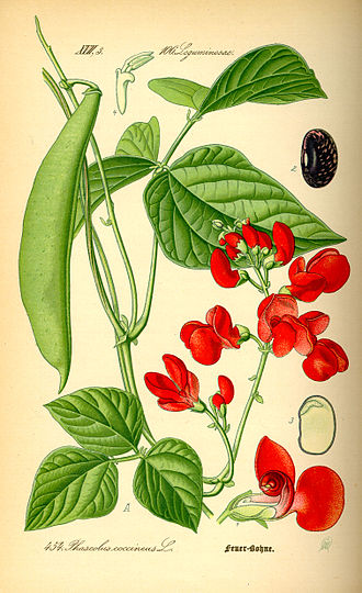 Phaseolus coccineus - Image: Illustration Phaseolus coccineus 0