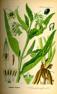 Illustration Symphytum officinale0.jpg