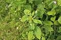 Impatiens parviflora (36013665004).jpg