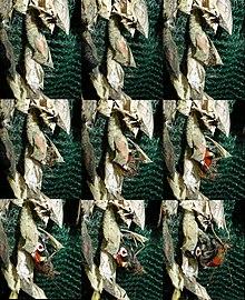 220px-Inachis_io_output_chrysalis dans PAPILLON
