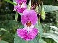 Indian Balsam (Impatiens glandulifera) (8145264074).jpg