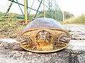 Indian Flap-shell turtle.jpg