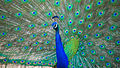 Indian Peafowl at IIT Delhi.jpg