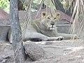 Indian lion.jpg
