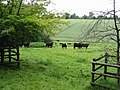 Inquisitive cattle on farmland near Acrise Place - geograph.org.uk - 864611.jpg