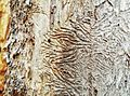 Insect trails on wood below bark (20365735300).jpg