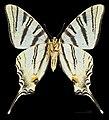 Iphiclides podalirius MHNT CUT 2013 3 9 Male Ventre Cahors.jpg