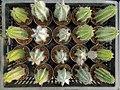 "Iran-qom-Cactus-The greenhouse of the thorn world گلخانه کاکتوس ""دنیای خار"" در روستای مبارک آباد قم- ایران 01.jpg"