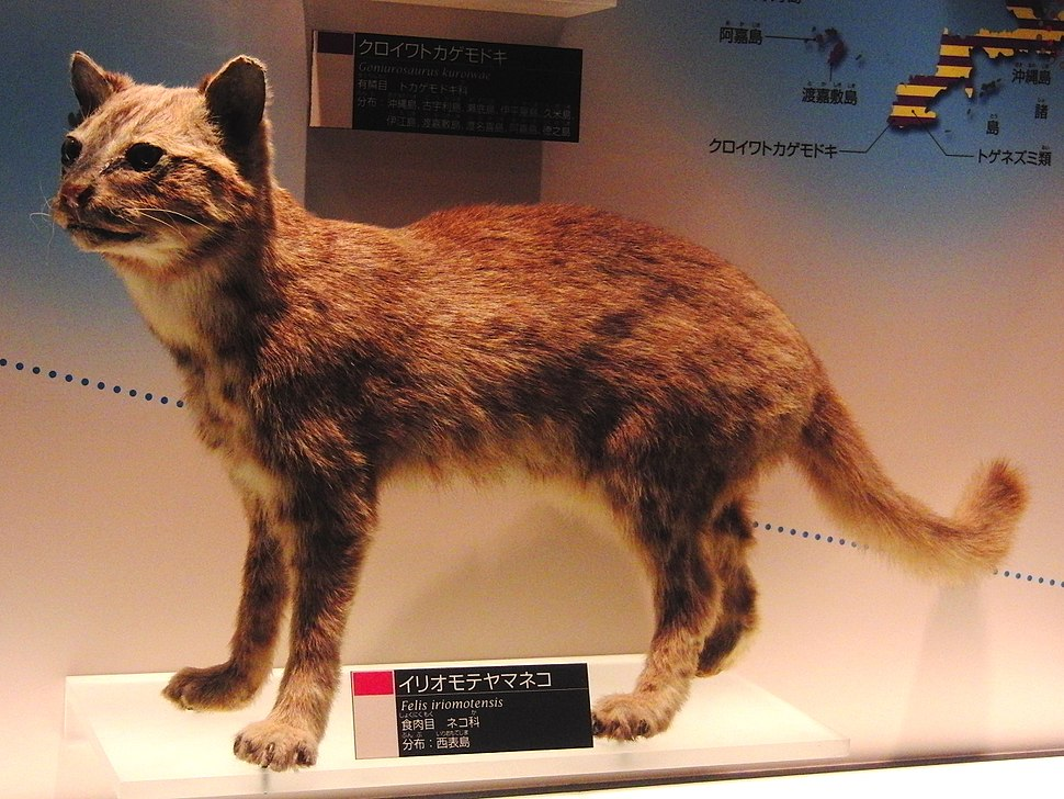 Iriomote cat Stuffed specimen