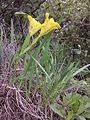 Iris humilis subsp. arenaria sl26.jpg