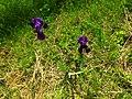 Iris in Ukraine (may 2016) 4.jpg
