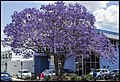 Jacaranda in Newstead Industrial area-1 (22337365851).jpg