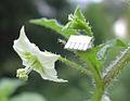 Jaltomata chihuahuensis 421 Flower.jpg