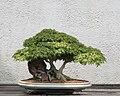 Japanese Maple 'Kiyo-hime' bonsai, 2011-05-29.jpg