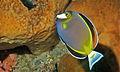 Japanese Surgeonfish (Acanthurus japonicus) (8481921389).jpg