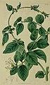 Jasminum auriculatum by Robert Sweet - The Botanical register (1815) (14586635477).jpg