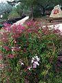 Jasminum polyanthum Ecoherbes Park.jpg