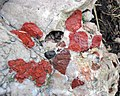 Jasper-quartz pebble conglomerate (Lorrain Formation, Paleoproterozoic, ~2.3 Ga; Ottertail Lake Northeast roadcut, near Bruce Mines, Ontario, Canada) 58 (47656463042).jpg