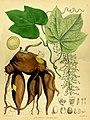 Jateorrhiza Calumba Bentley Trimen.jpg