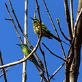 Jc green bee eater.jpg