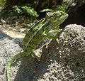 Jewel (carpet) Chameleon. Furcifer lateralis - Flickr - gailhampshire (1).jpg
