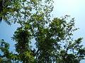 Jf9408Pterocarpus indicus Lubaofvf 05.JPG