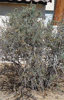 Joshua Tree National Park - Jojoba (Simmondsia chinensis).JPG