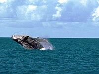 Uma baleia-jubarte fanzendo coreografias em Abrolhos.
