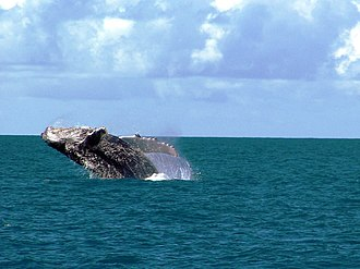 Humpback whale - A humpback in the waters of the Abrolhos Archipelago