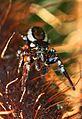 Jumping Spider, Meadowood SRMA, Mason Neck, Virginia.jpg