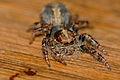 Jumping Spider (Salticidae) (16518153310).jpg