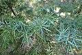Juniperus oxycedrus kz30 (Morocco).jpg
