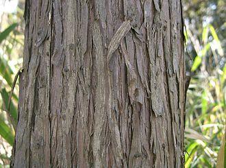 Juniperus rigida - Image: Juniperus rigida 1