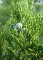 Juniperus virginiana kz05.jpg