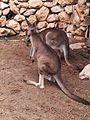Kangaroo in zoo.jpg