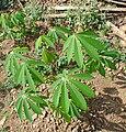 Kerala Cassava plant 1.jpg