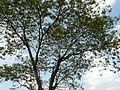 Khok (in Manipuri) (3351356871).jpg