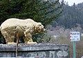 Klamath Gold Bear Klamath River N.jpg