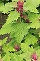 Kluse - Chenopodium giganteum - Magentaspreen 14 ies.jpg
