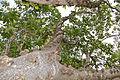 Knob Fig (Ficus sansibarica) (17143627269).jpg