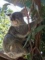 Koalas - panoramio.jpg