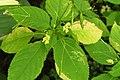 Korina 2014-06-29 Impatiens parviflora 1.jpg