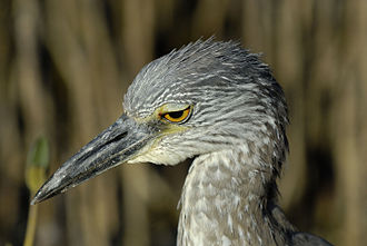 Yellow-crowned night heron - Immature yellow-crowned night heron