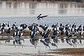 Kraniche Huvenhoopsmoor 2015-11-04 C7D28104 DxOa.jpg