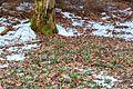 Kvetoucí sněženky v PP Sněženky ve Vysokém lese 37.jpg